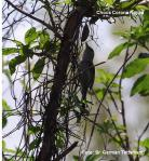 Choca Corona Rojiza - Thamnophilus ruficapillus