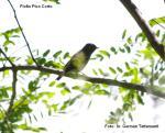 Fiofío Pico Corto -  Elaenia parvirostris