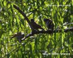 Tordo Pico Corto (juvenil) - Molothrus rufoaxillaris