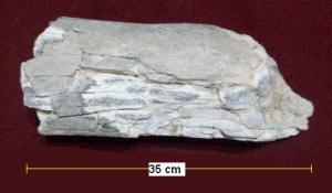 Mastodonte-fémur