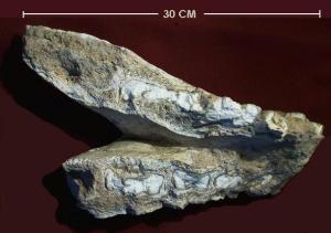 Toxodonte-mandíbula