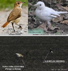 LEUCISMO EN AVES DE SAN PEDRO